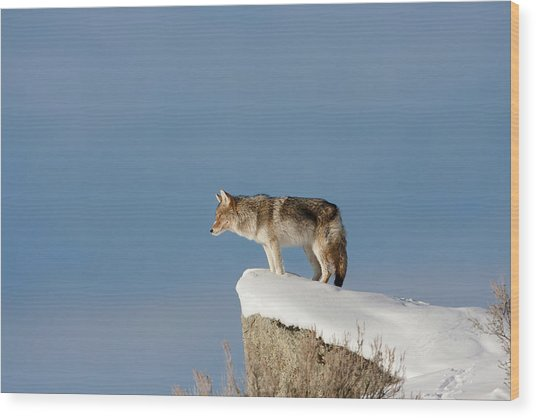 Coyote At Overlook Wood Print