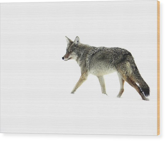 Coyote Crossing Wood Print