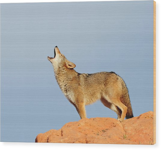 Coyote Howling Wood Print by Dennis Hammer
