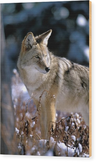 Coyote In Winter Light Wood Print
