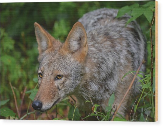 Coyote On The Hunt Wood Print