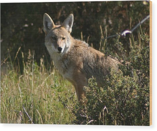 Coyote Resting Wood Print by Perspective Imagery