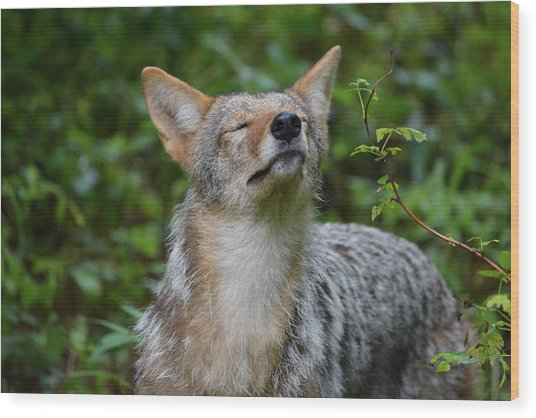 Coyote Soaking Up The Morning Sun Wood Print
