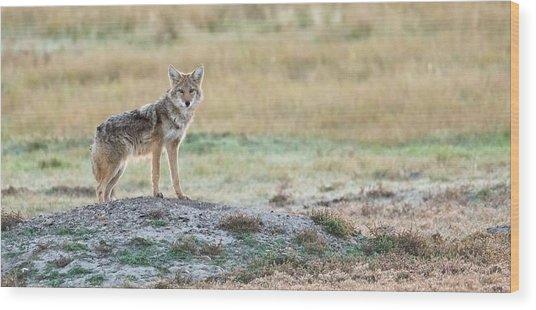 Coyotee Wood Print