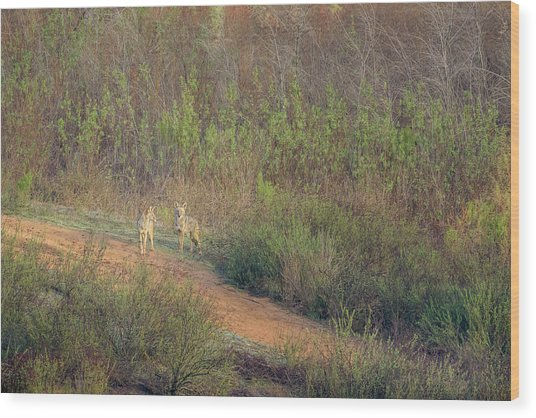 Coyotes In Morning Light Wood Print