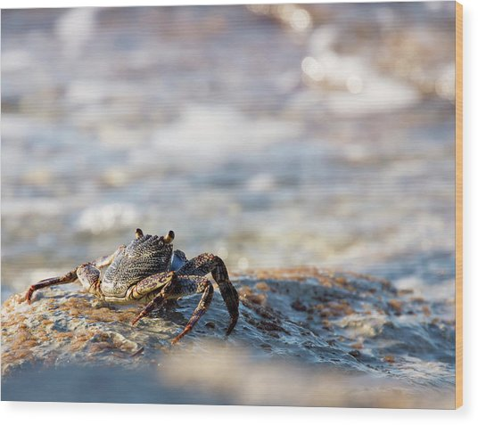 Crab Looking For Food Wood Print