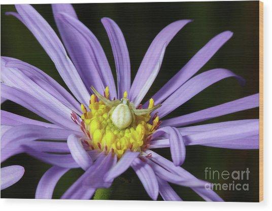 Crab Spider - Misumena Vatia - On Purple Aster Flower Wood Print