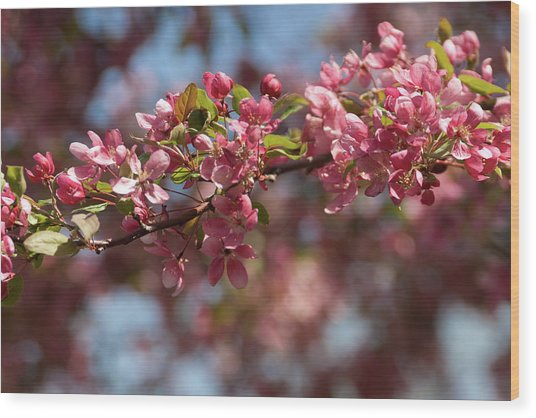 Crabapple In Spring Section 2 Of 4 Wood Print