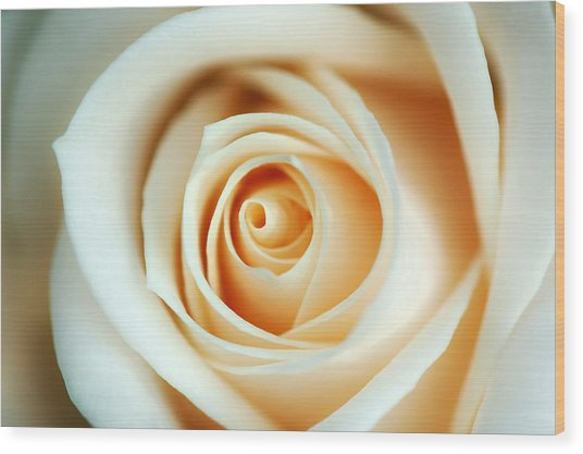 Creme Rose Wood Print by Mandy Wiltse