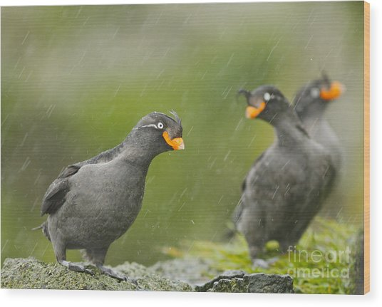Crested Auklets Wood Print