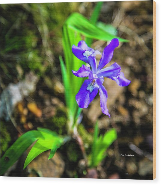 Crested Dwarf Iris Wood Print