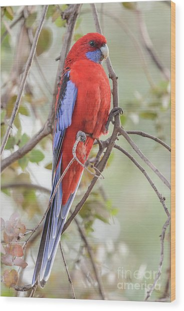 Crimson Rosella 01 Wood Print
