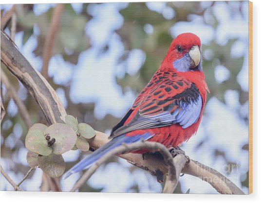 Crimson Rosella 03 Wood Print