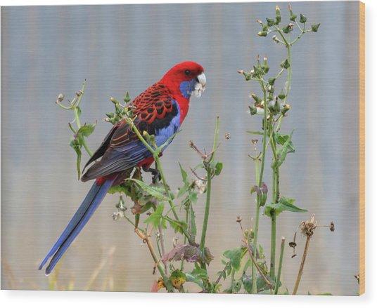 Crimson Rosella Wood Print