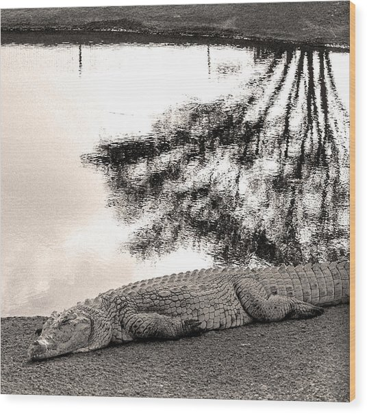 Crocodile Resting Time Wood Print