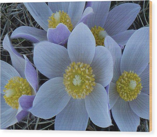 Crocus Blossoms Wood Print