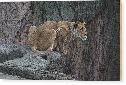 Crouching Lioness Wood Print