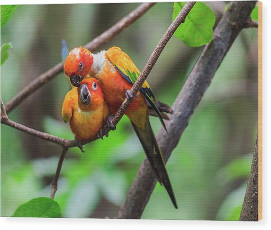 Cuddling Parrots Wood Print