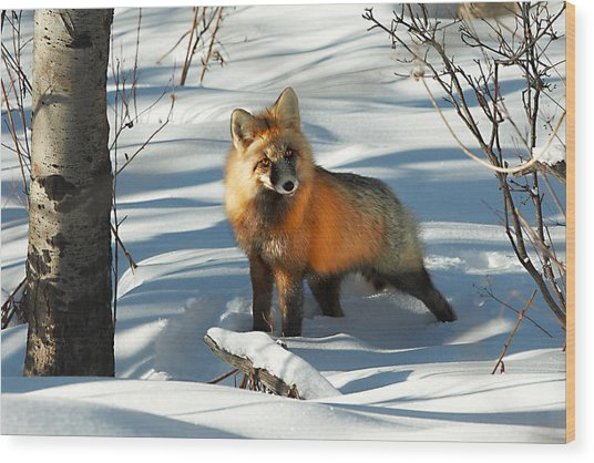 Curious Fox Wood Print