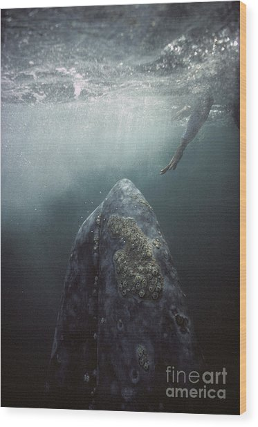 Curious Gray Whale And Tourist Wood Print