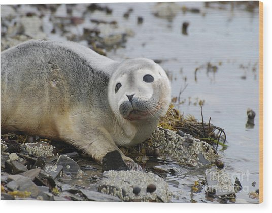 Curious Harbor Seal Pup Wood Print