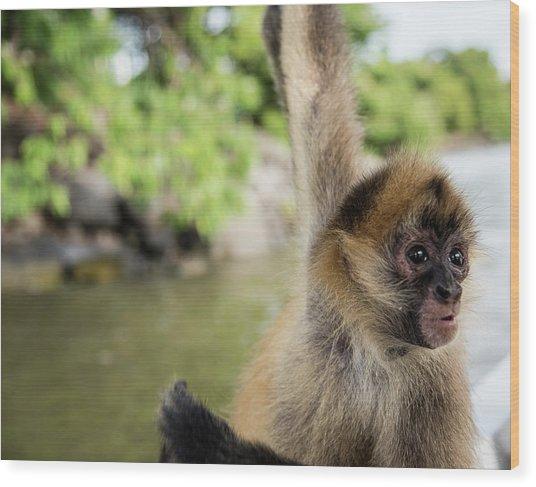 Curious Monkey Wood Print by Michael Santos