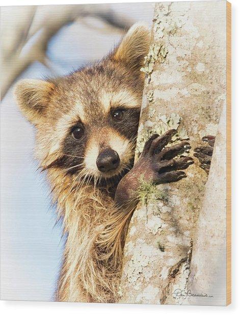 Curious Raccoon 6054 Wood Print by Dan Beauvais