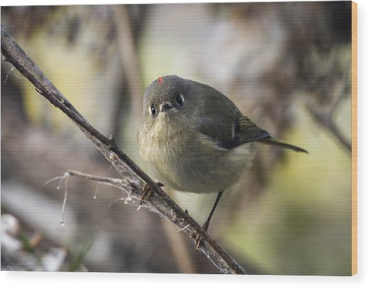 Curious Ruby-crowned Kinglet Wood Print