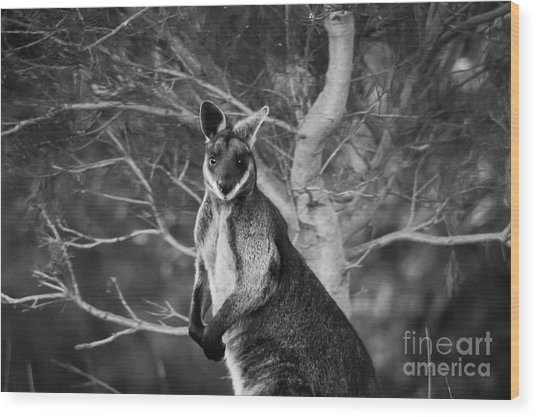 Curious Wallaby 2 Wood Print