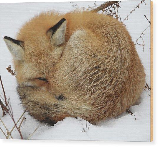 Curled Up Fox Wood Print