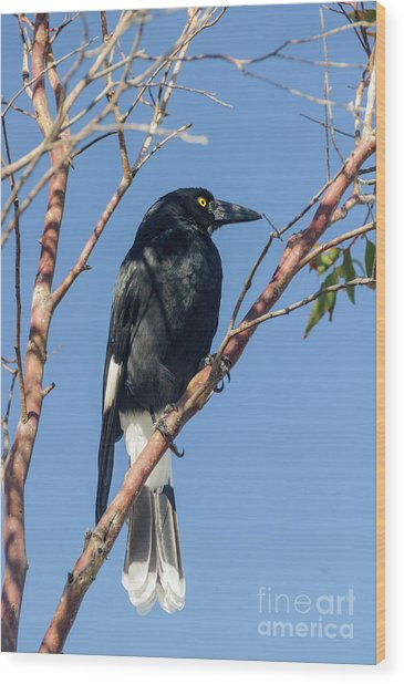 Currawong Wood Print
