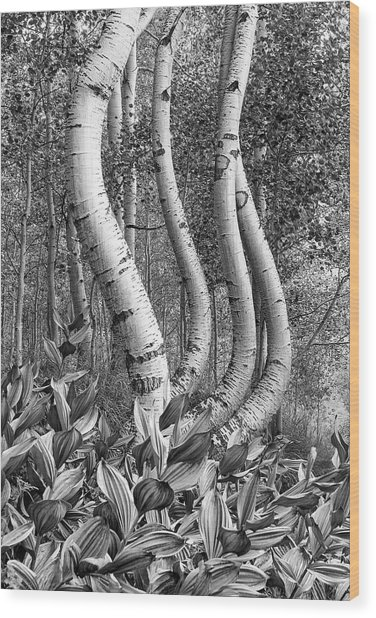 Curved Aspens Wood Print
