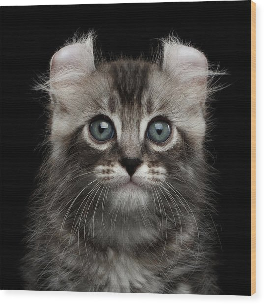 Cute American Curl Kitten With Twisted Ears Isolated Black Background Wood Print