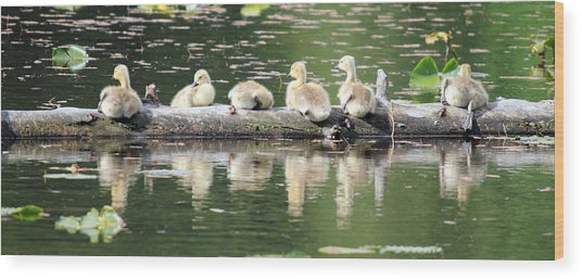 Cute Canadian Geese Chicks Wood Print by Pierre Leclerc Photography
