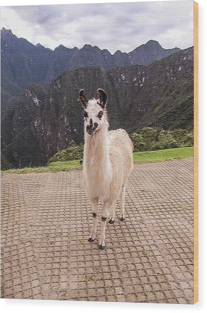 Cute Llama Posing For Picture Wood Print