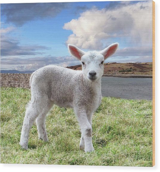 Cute Spring Lamb Posing Beside The Wild Atlantic Way In Ireland Wood Print