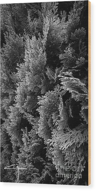 Cypress Branches No.1 Wood Print