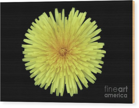 Dandelion Wood Print by Jim Beckwith
