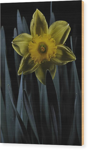 Daffodil By Moonlight Wood Print