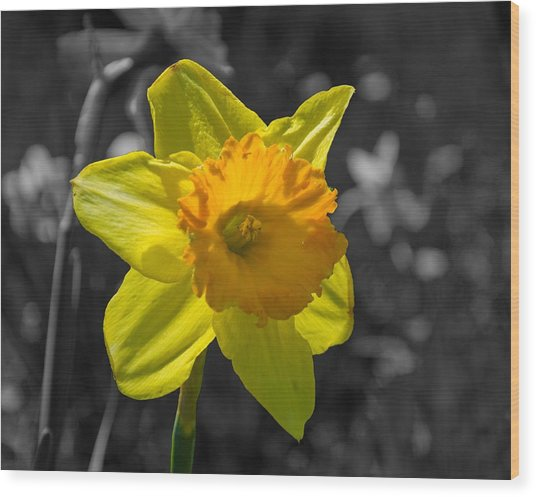 Daffodil Wood Print by Eric Harbaugh
