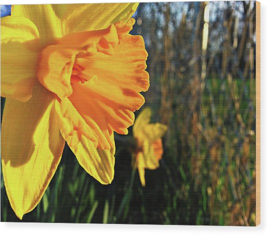 Daffodil Evening Wood Print