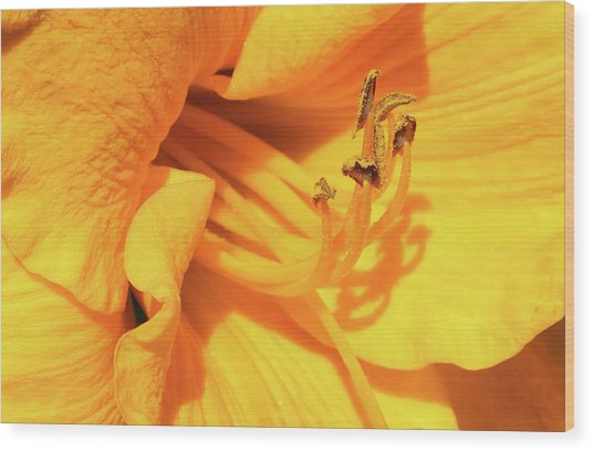Daffodil - Peeping Tom 06 Wood Print