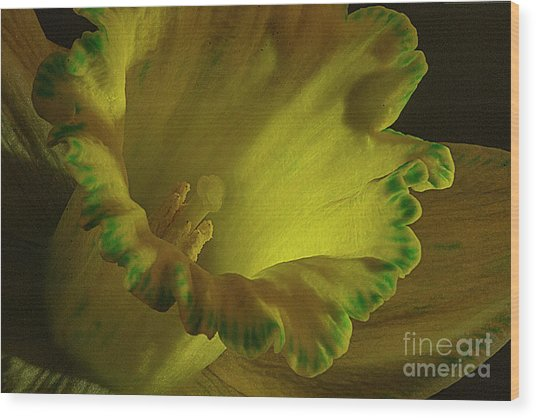 Daffodil With Food Coloring Wood Print by Jim Wright