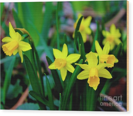 Daffodils A Symbol Of Spring Wood Print
