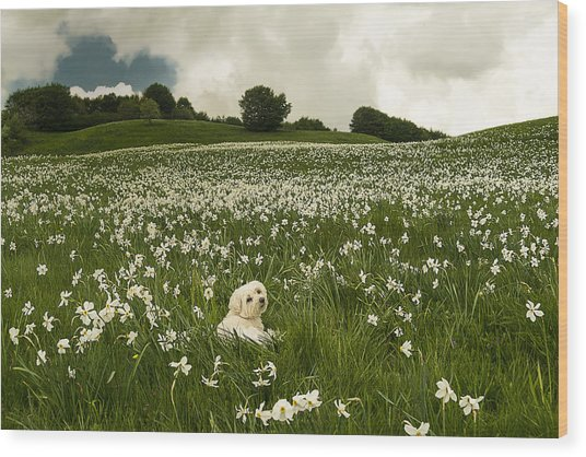 Wood Print featuring the photograph Daffodils White Blossoming With Little White Lilly 6 by Enrico Pelos