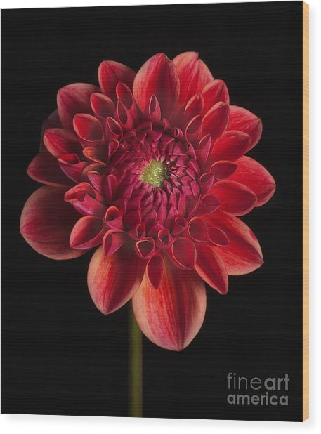Dahlia 'all That Jazz' Wood Print