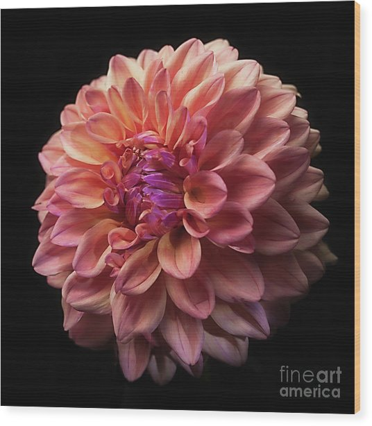 Dahlia 'ferncliff Copper' Wood Print