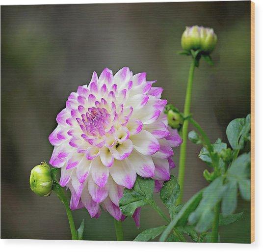 Dahlia Flower Wood Print