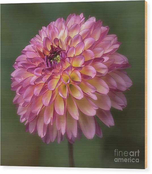 Wood Print featuring the photograph Dahlia 'foxy Lady' by Ann Jacobson