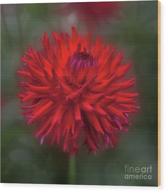 Dahlia 'hollyhill Miss Scarlet' Wood Print